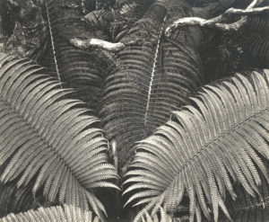 """Fern, Rain Forest, Hawaii"" 1947 printed ca. 1950"