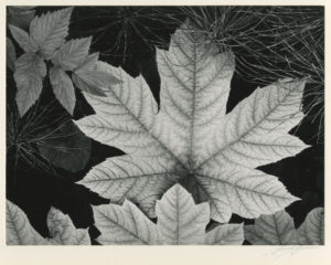 """Leaf, Glacier Bay National Monument, Alaska"" 1948"